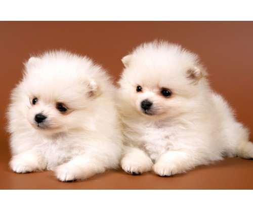 Just Cute - Two White Puppies