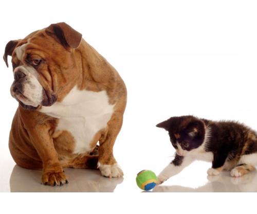 Bulldog Attitude With Playing Kitten