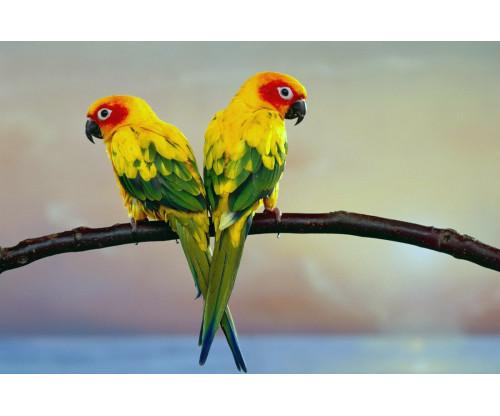 Oshi-  Beautiful Parrots 2