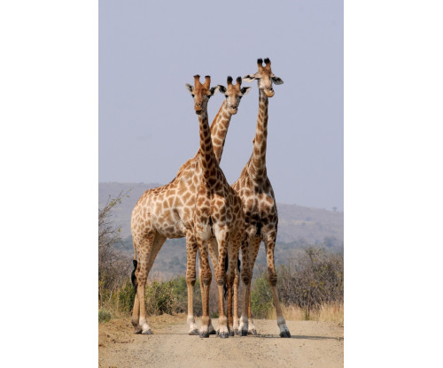 Beautiful Giraaffes