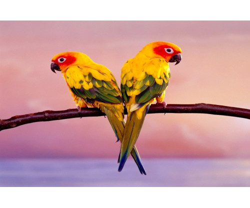 Two Colourful Parrot