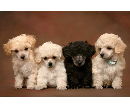 Just Cute - White And Black Puppies