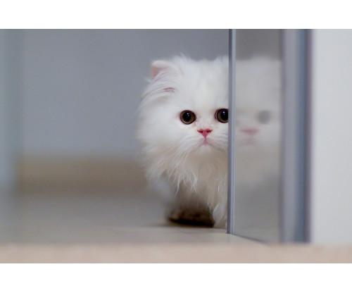 Just Cute -  White Cat
