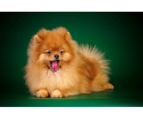 Cute Yawning Puppy