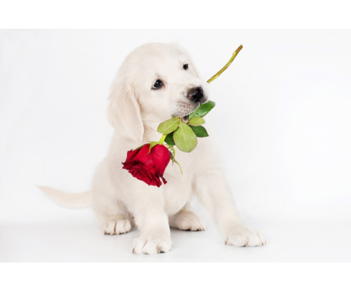 Cute Dog With Red Rose