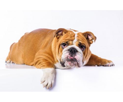 Cute Bulldog 2