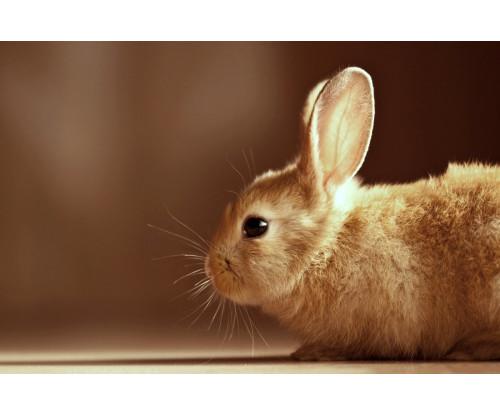 Cute Brown Bunny