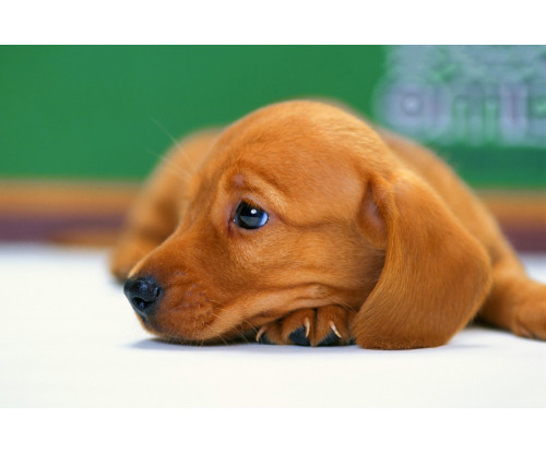 Cute Staring Dog