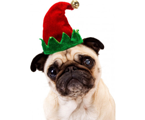 Pug With Hat